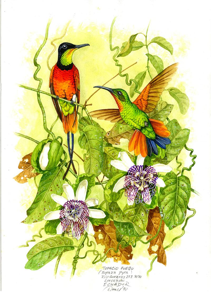 Kolibřík plamenný (Topaza pyra), Rio Curaray (Amazonie), Ekvádor 2010.