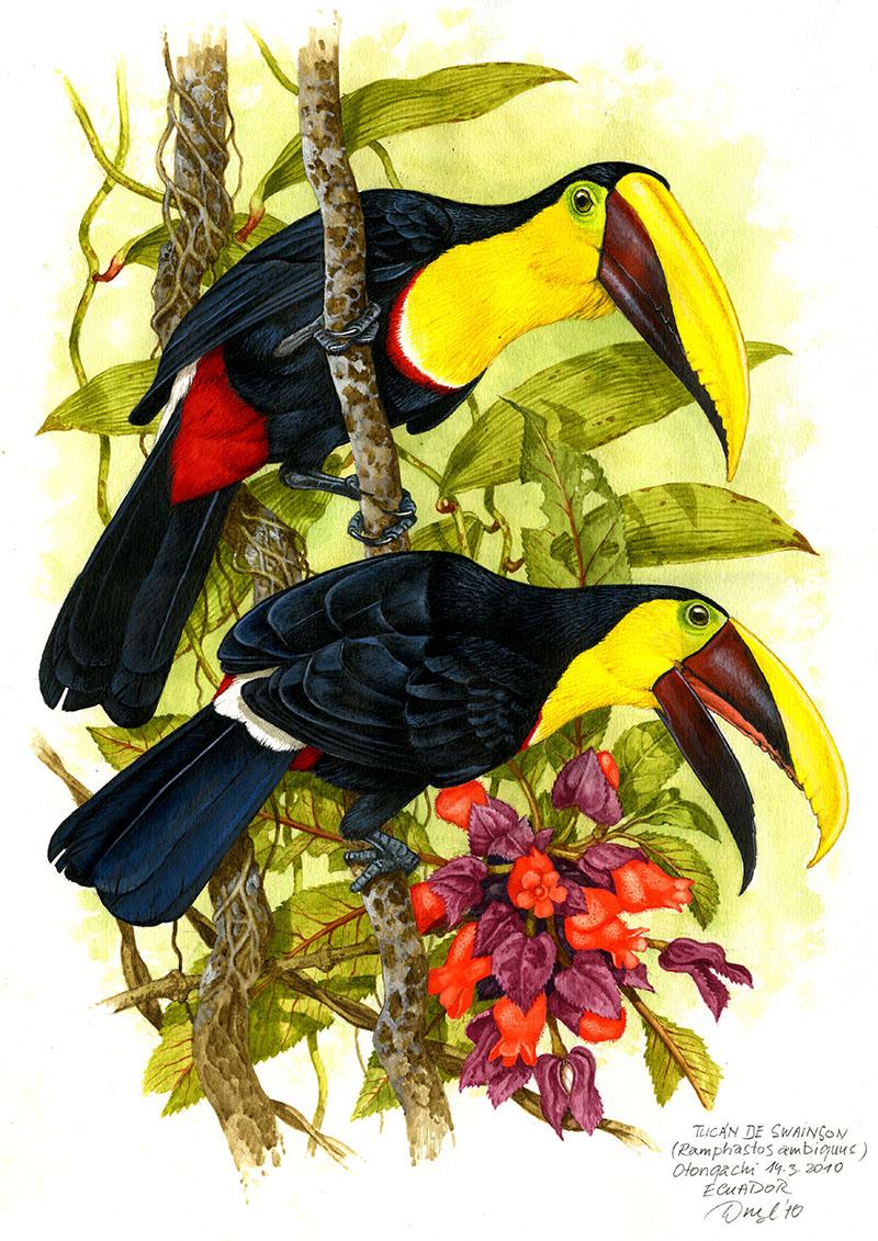 Yellow-throated toucan (Ramhastos ambiguus), West Andes, Ecuador 2010 (sold).