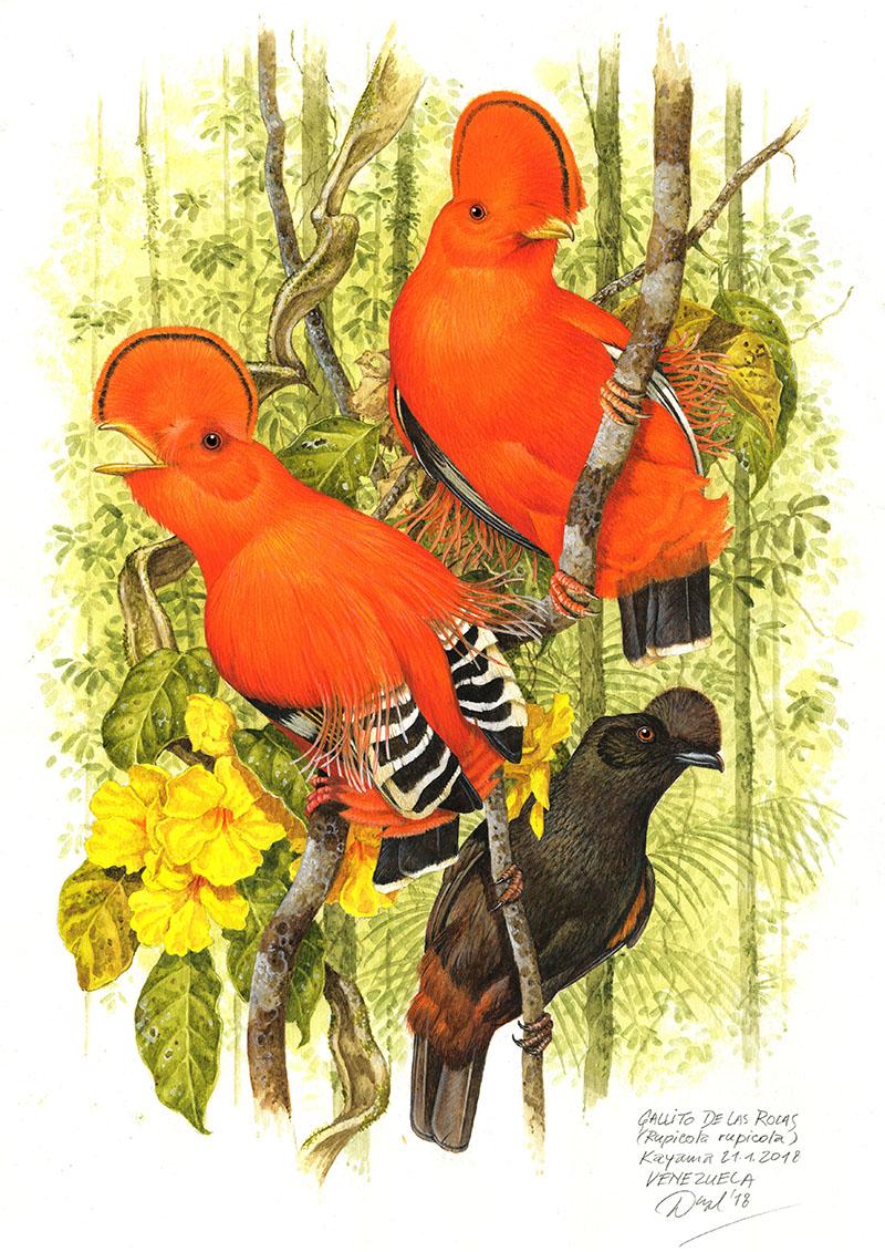 Skalňák oranžový (Rupicola rupicola), Kayama (Amazonie), Venezuela 2018(prodáno).