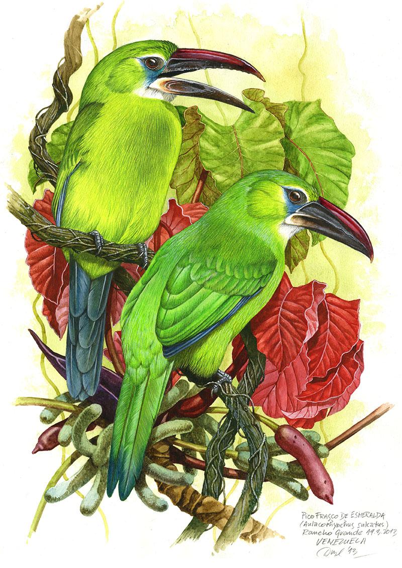Arassari modrolící (Aulacorhynchus sulcatus), Rancho Grande, Venezuela 2013 (prodáno).