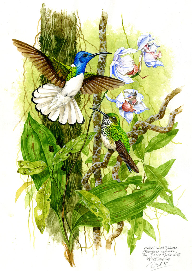 Kolibřík bělokrký (Florissuga mellivora), Rio Baria (Amazonie), Venezuela 2015.