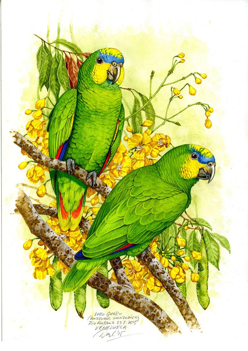 Orange-winged amazon (Amamzona amazonica), Rio Autana (Amazonia), Venezuela 2015 (sold).