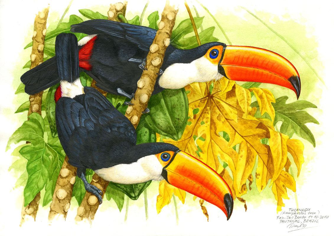 Toco toucan (Ramphastos toco), Pantanal, Brazil 2015 (sold).