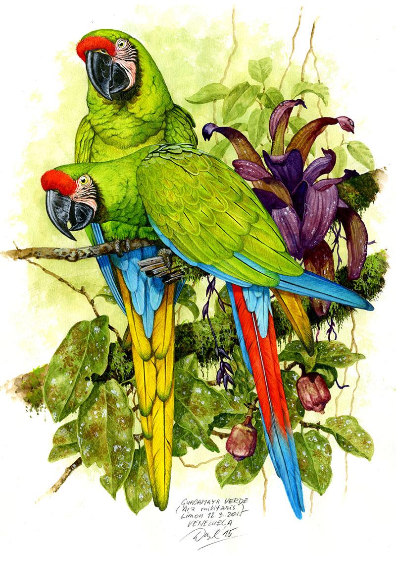 Military macaw (Ara militaris), Limon, Venezuela 2015 (sold).