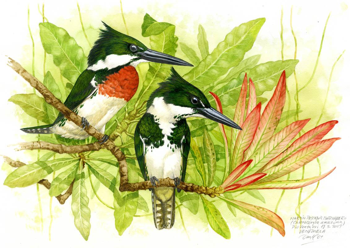 Amazon kingfisher (Chloroceryle amazona), Ventuari (Amazonia), Venezuela 2001.