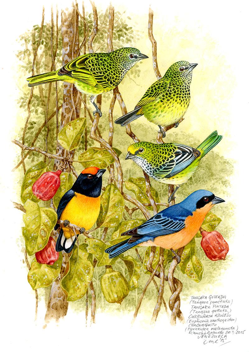 Tangara kropenatá a skvrnitá, libohlásek žlutobřichý, t. černohřbetá (Tangara punctata, T. guttata, Euphonia xanthogaster, Pipraeidea melanonota), Rancho Grande, Venezuela 2006.
