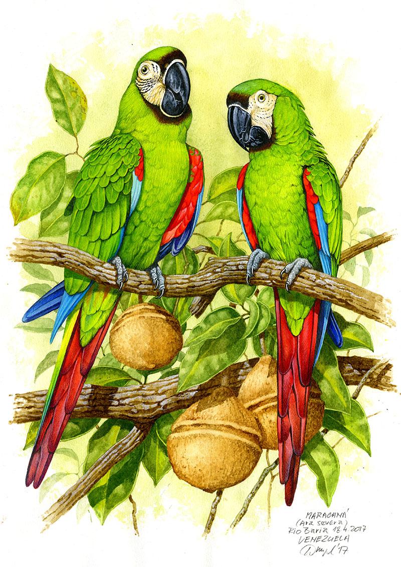 Chestnut-fronted macaw (Ara severa), Rio Baria (Amazonia), Venezuela 2004.