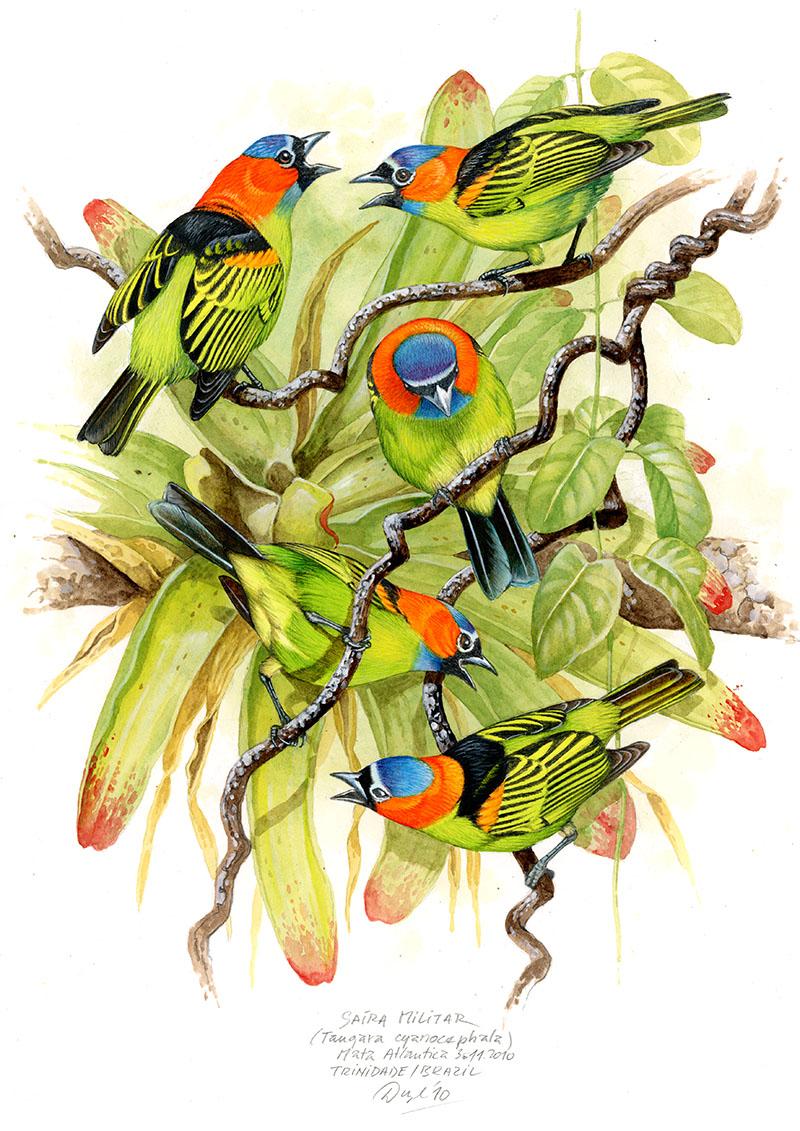 Red-necked tanager (Tangara cyanocephala), Mata Atlantica, Brazil 2010 (sold).