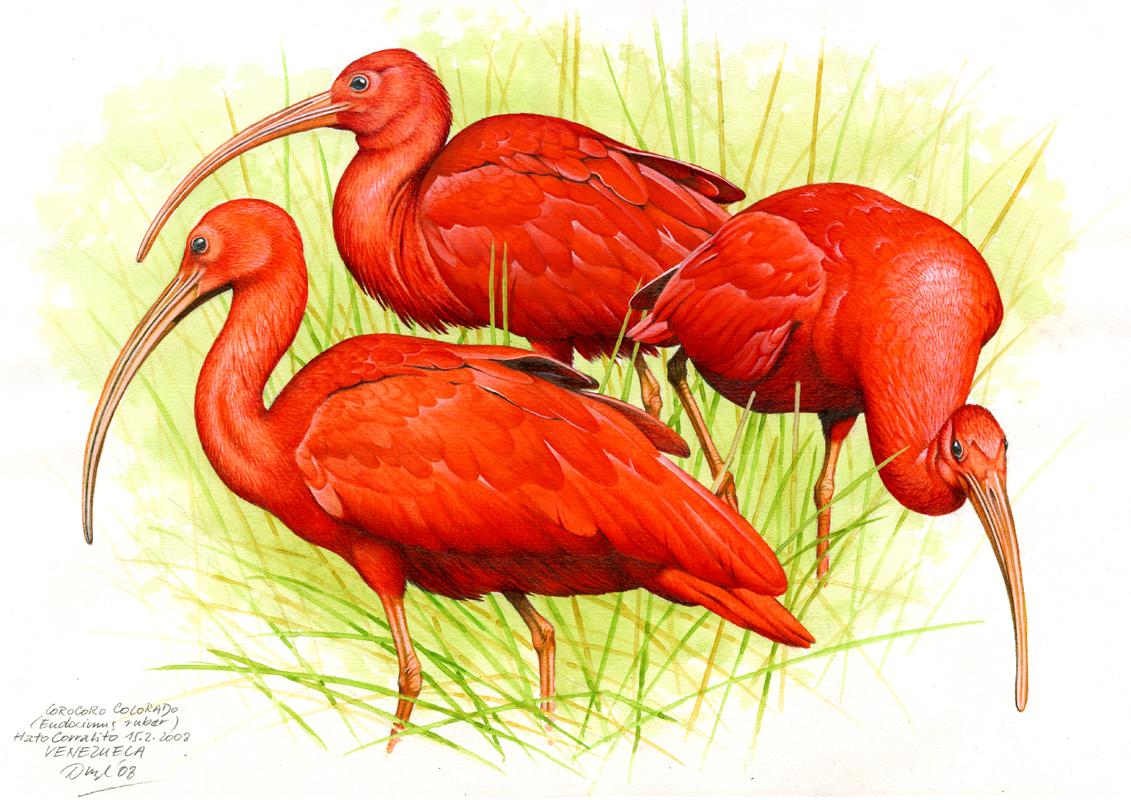 Ibis nachový (Eudocimus ruber), Llanos, Venezuela 2008.