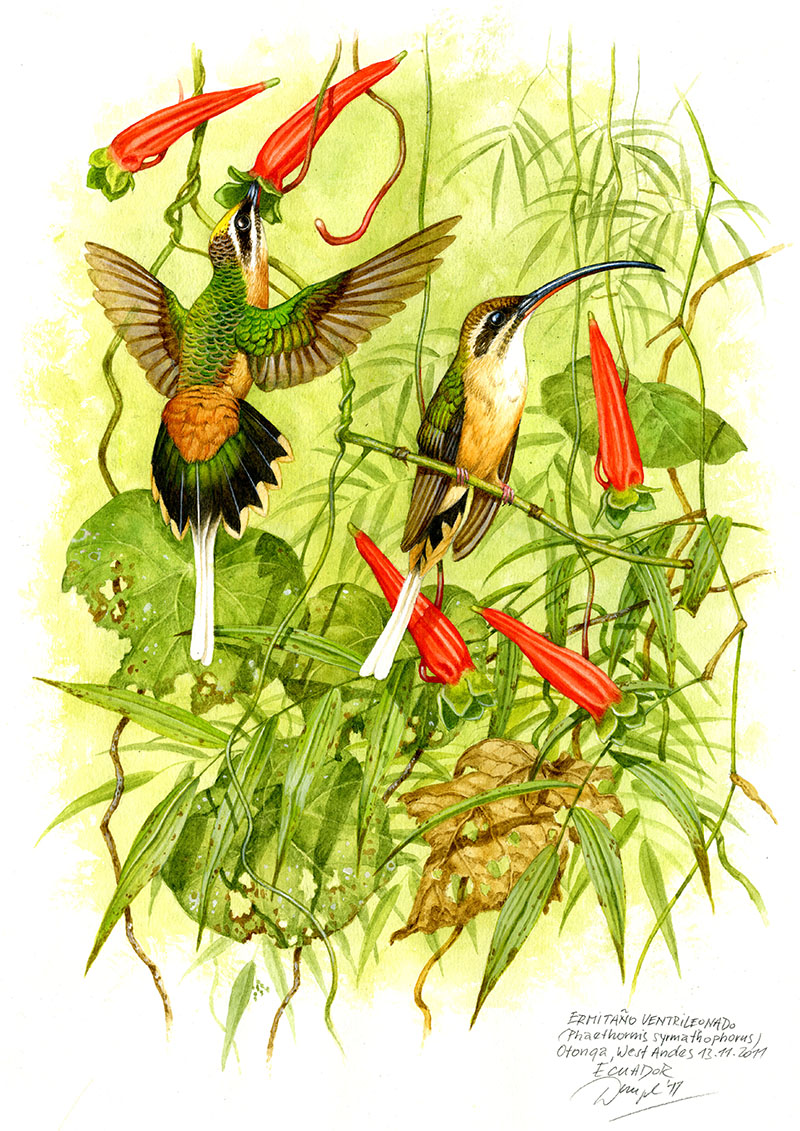 Kolibřík dlouhoocasý (Phaethornis syrmatophorus) Západní Andy, Ekvádor 2011 (prodáno).