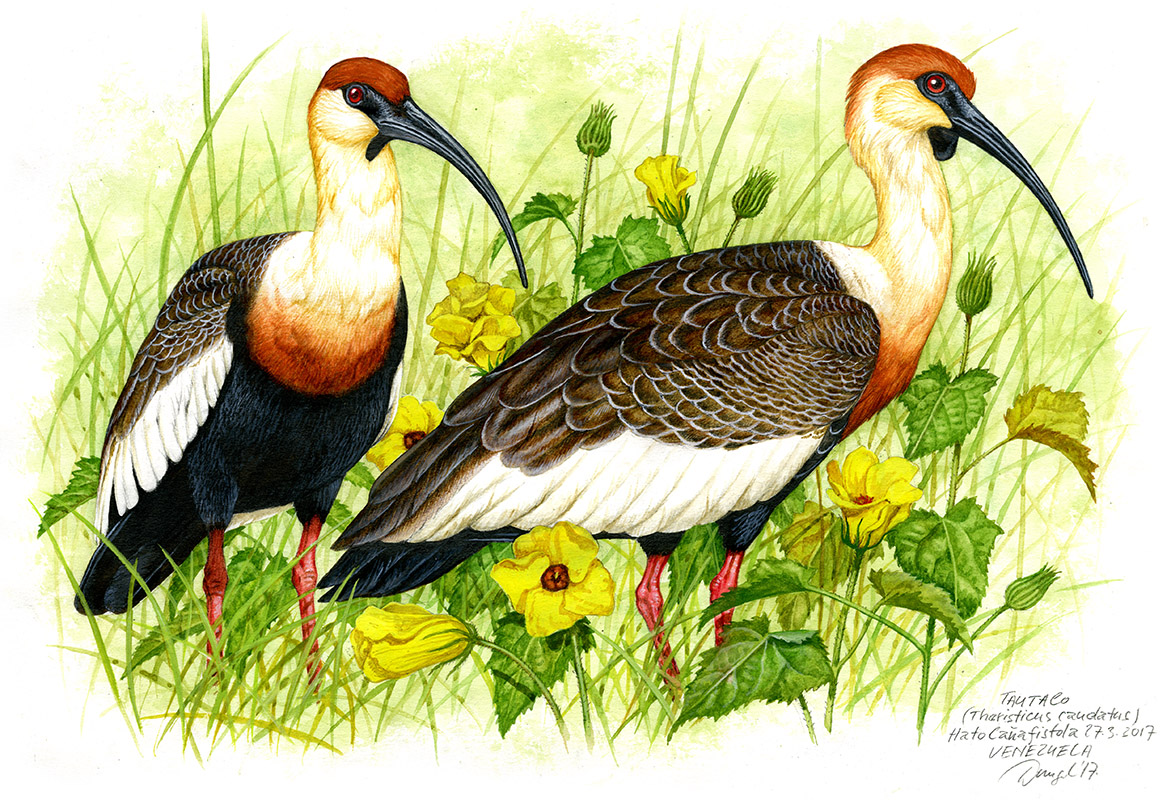 Buff-necked ibis (Theristicus caudatus), Llanos, Venezuela 2017.