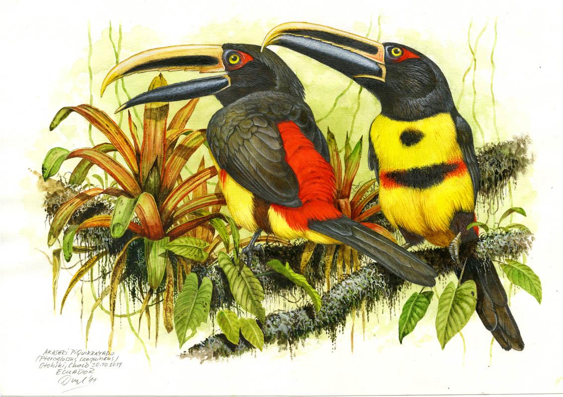 Arassari obojkový (Pteroglossus torquatus sanguineus), Choco, Ekvádor 2011.