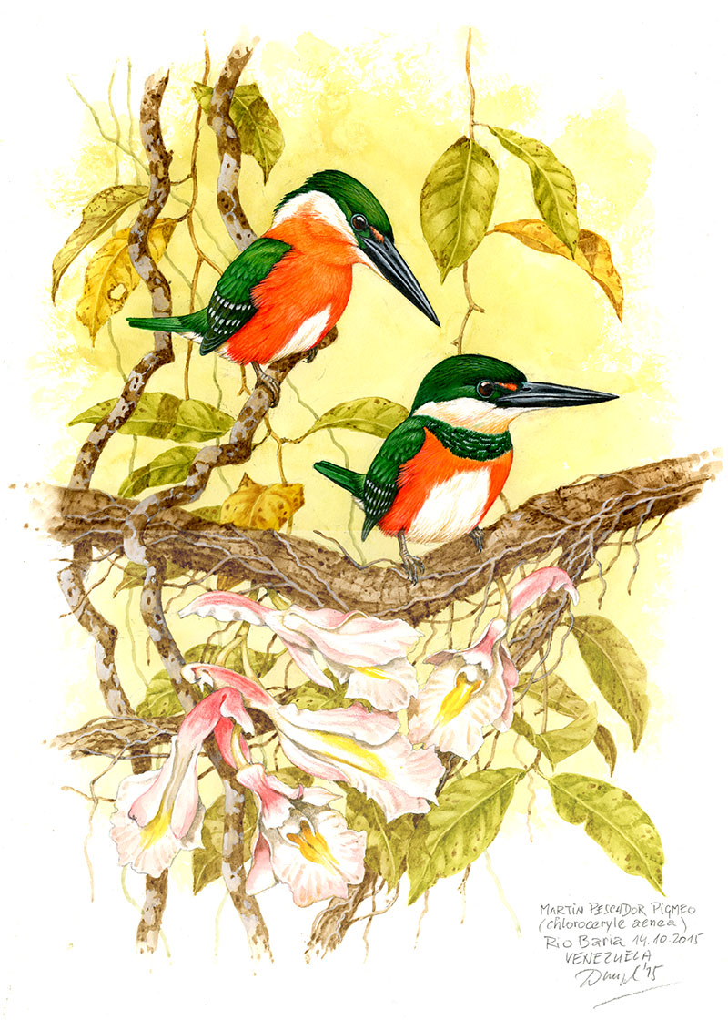 American pygmy kingfisher (Chloroceryle aenea), Rio Curaray (Amazonia), Ekvádor 2010.