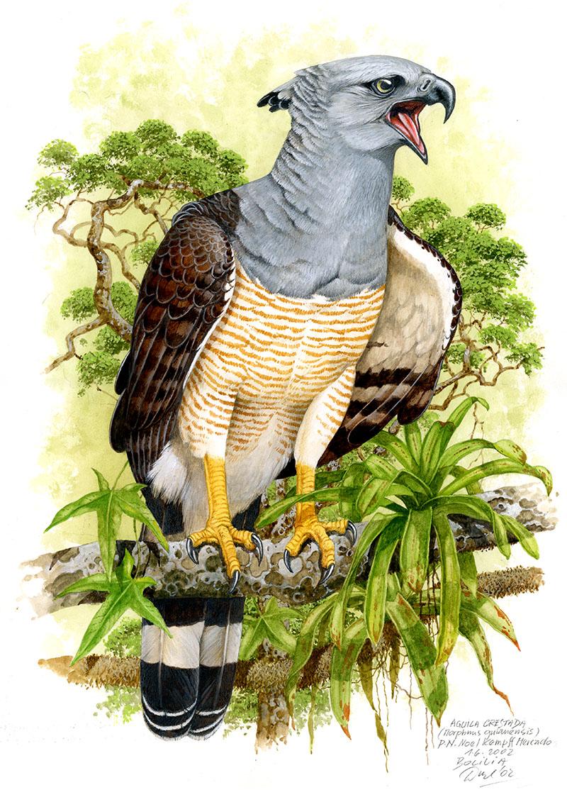 Harpyje krahujová (Morphnus guianensis), NP Noel Kempff Mercado (Amazonie), Bolívie 2002.