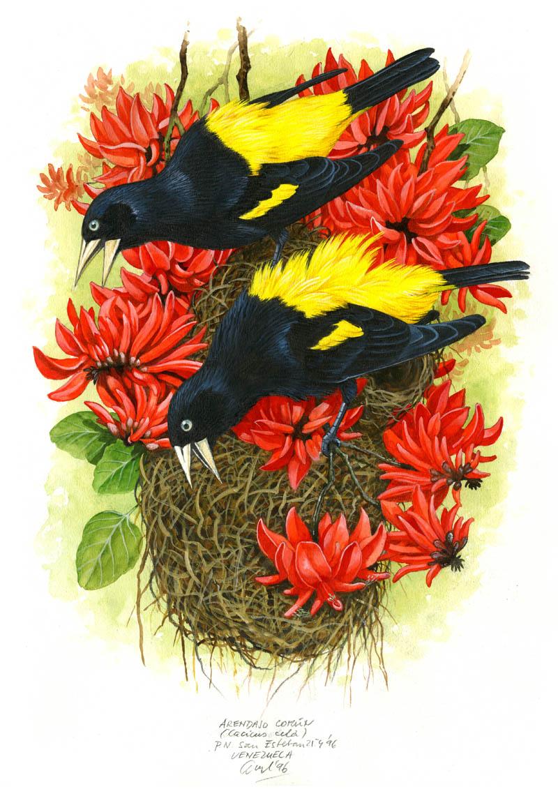 Yellow-rumped cacique (Cacicus cela), Cordillera de la Costa, Venezuela 1996.