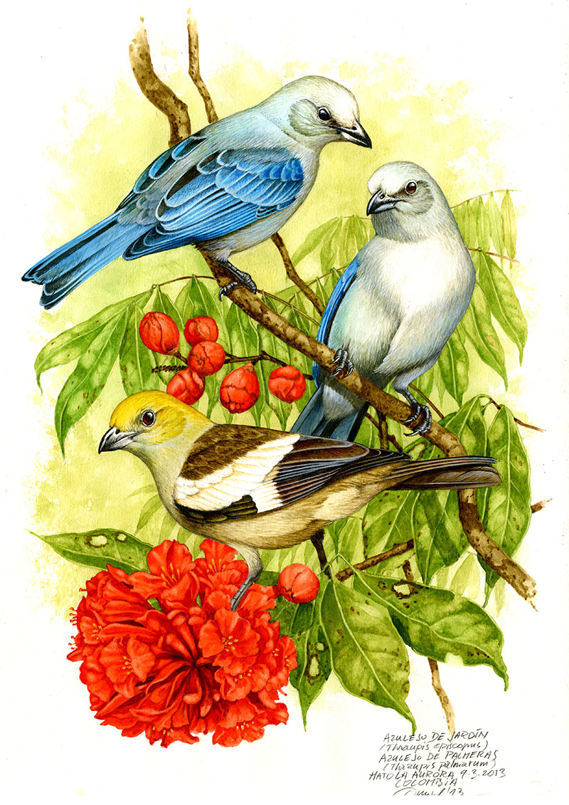Blue-grey and palm tanager (Thraupis episcopus, T. palmarum), Llanos, Colombia 2013 (sold).