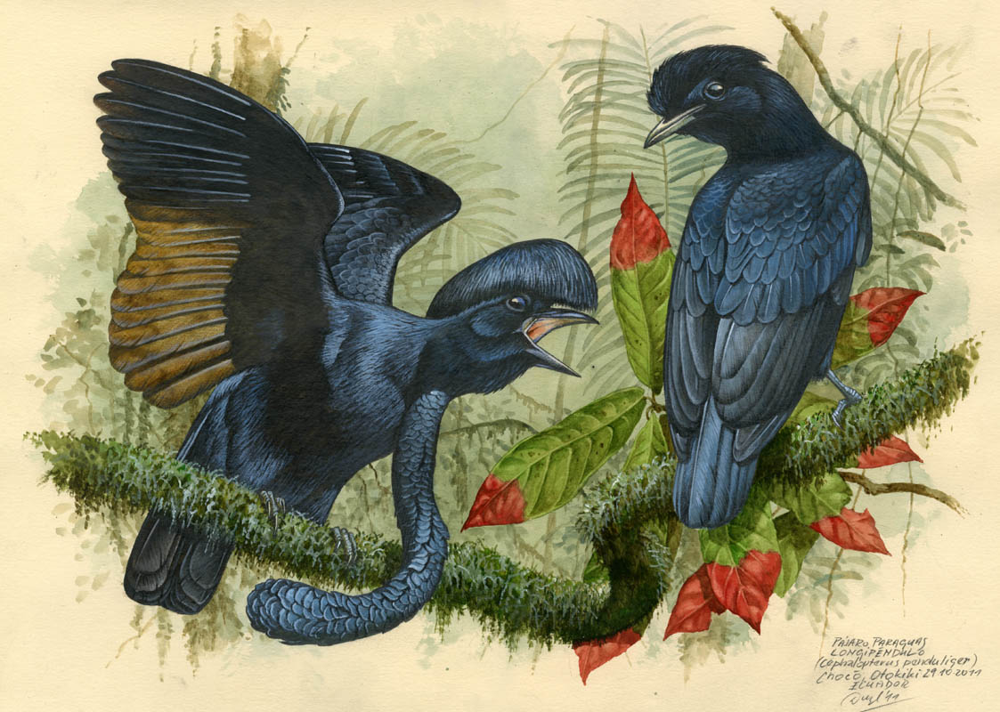 Long-wattled umbrellabird (Cephalopterus penduliger), Choco, Ecuador 2011 (sold).