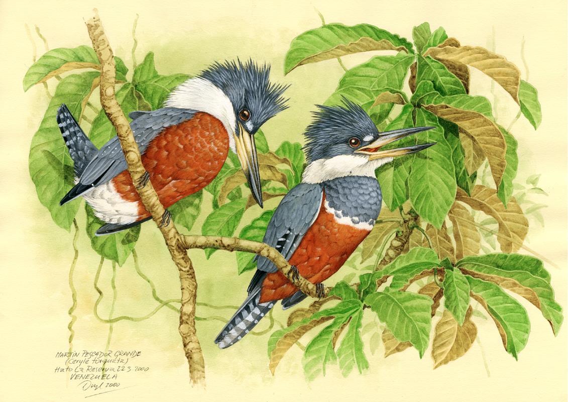 Ringed kingfisher (Ceryle torquata), Llanos, Venezuela 2000.