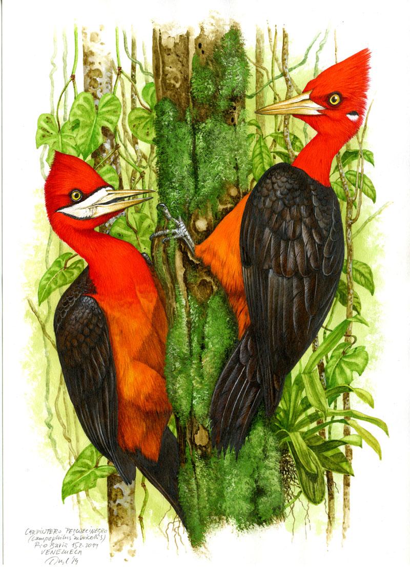 Red-necked woodpecker (Campephilus rubricollis), Rio Baria (Amazonia), Venezuela 2014.