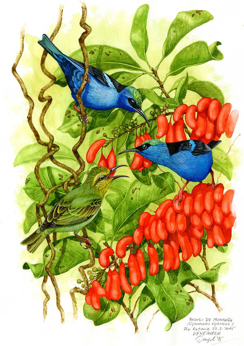 Květomil modrý (Cyanerpes cyaneus), Rancho Grande, Venezuela 2013.