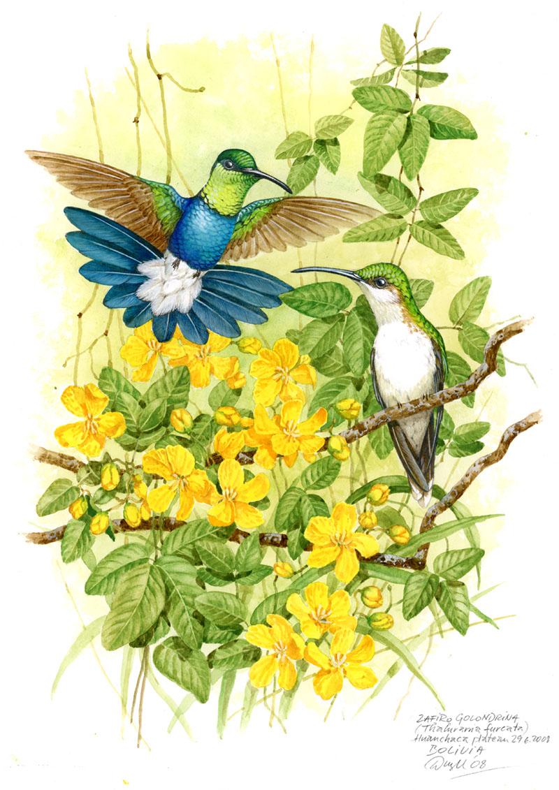 Fork-tailed woodnymph (Thalurania furcata), Huanchaca (Amazonia), Bolivia 2008.