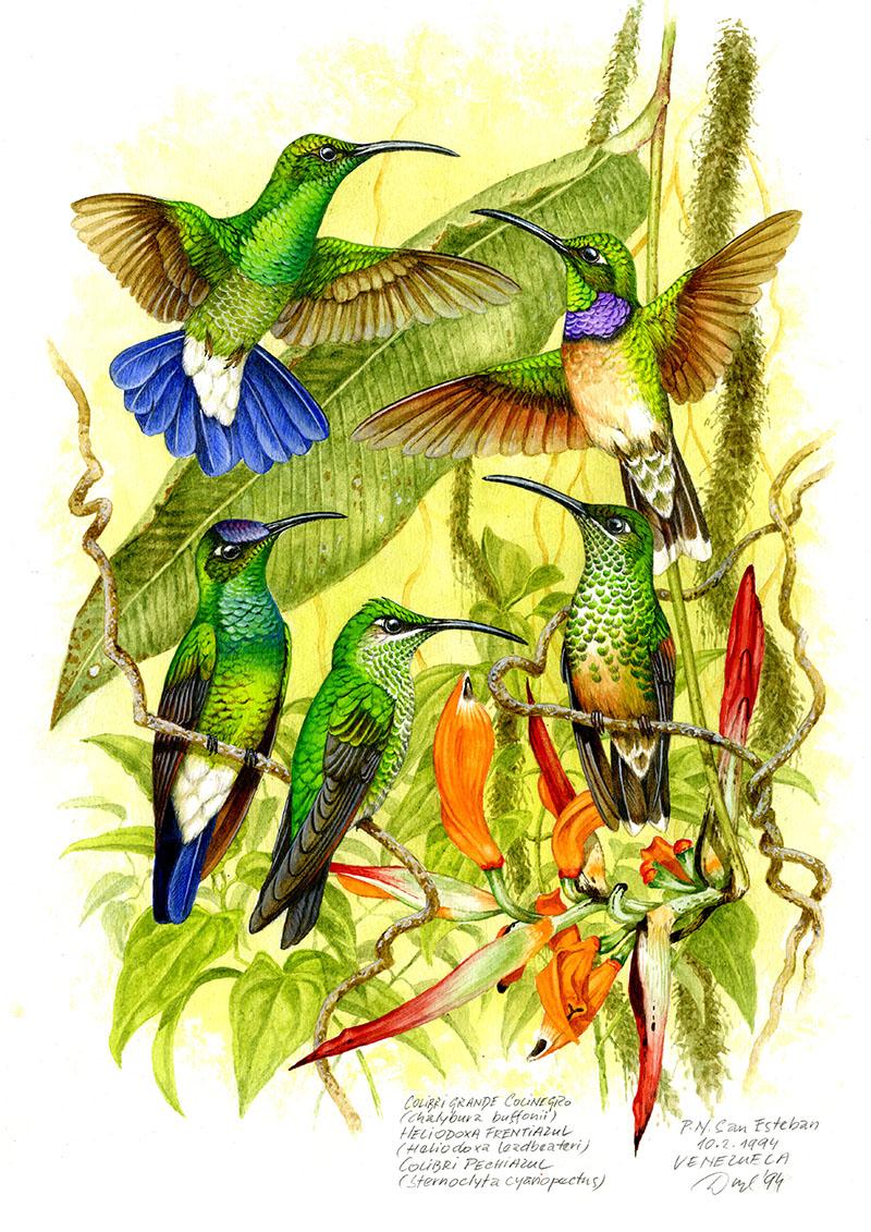 Kolibřík Buffonův, k. pestroprsý, k. briliantový (Chalibura buffonii, Heliodoxa leadbeateri, Sternocycla cyanopectus), NP San Esteban, Venezuela 1994 (prodáno).