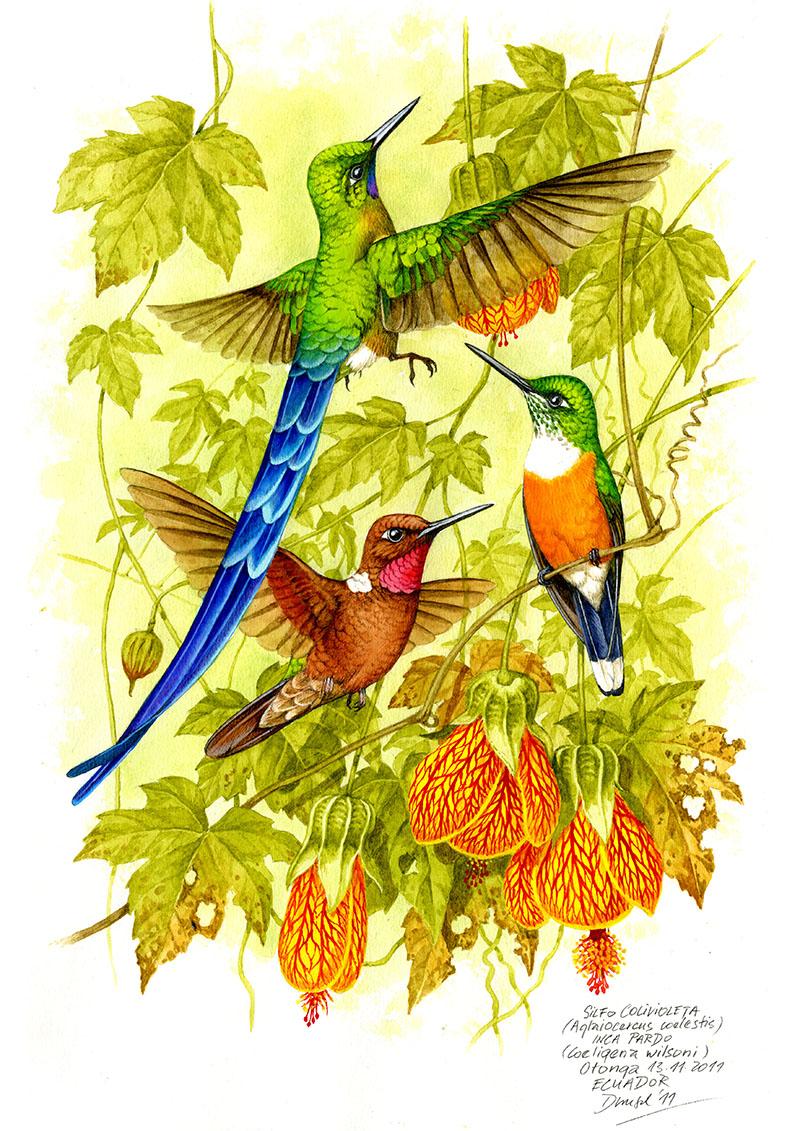 Kolibřík tatama a inka hnědý (Aglaiocercus coelestis, Coeligena wilsoni), Západní Andy, Ekvádor 2011 (prodáno).