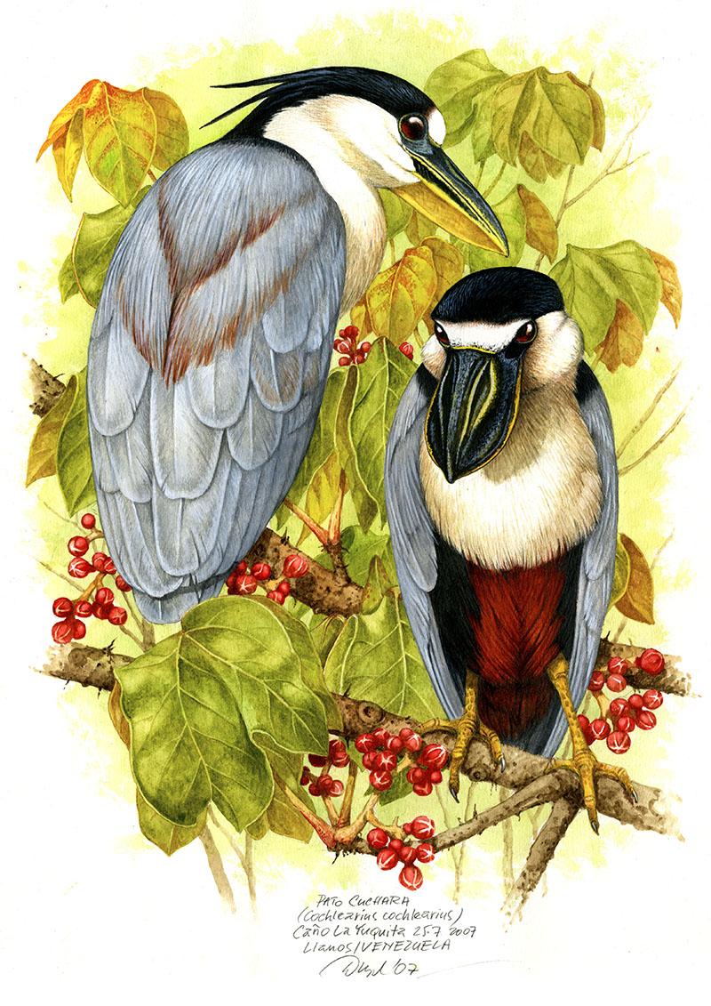 Boat-billed heron (Cochlearius cochlearius), Llanos, Venezuela 2007 (sold).