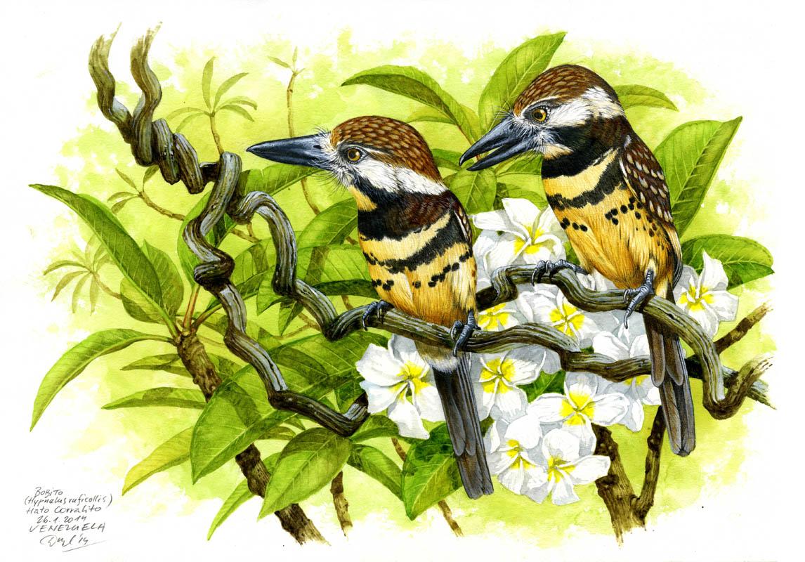 Two-banded puffbird (Hypnelus bicinctus), Llanos, Venezuela 2014.