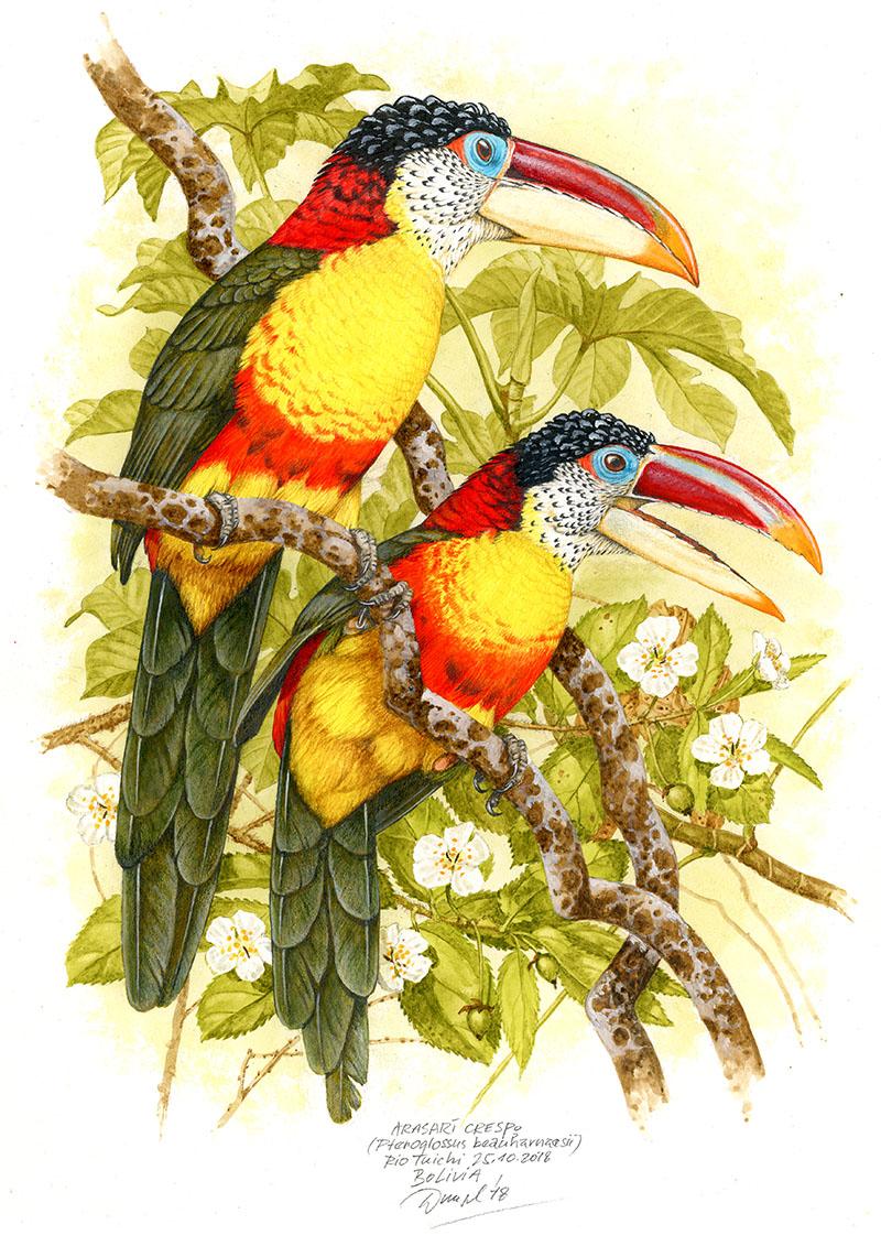 Arassari řasnatý (Pteroglossus beauharnaesii), Rio Tuichi (Amazonie), Bolivia 2018 (prodáno).