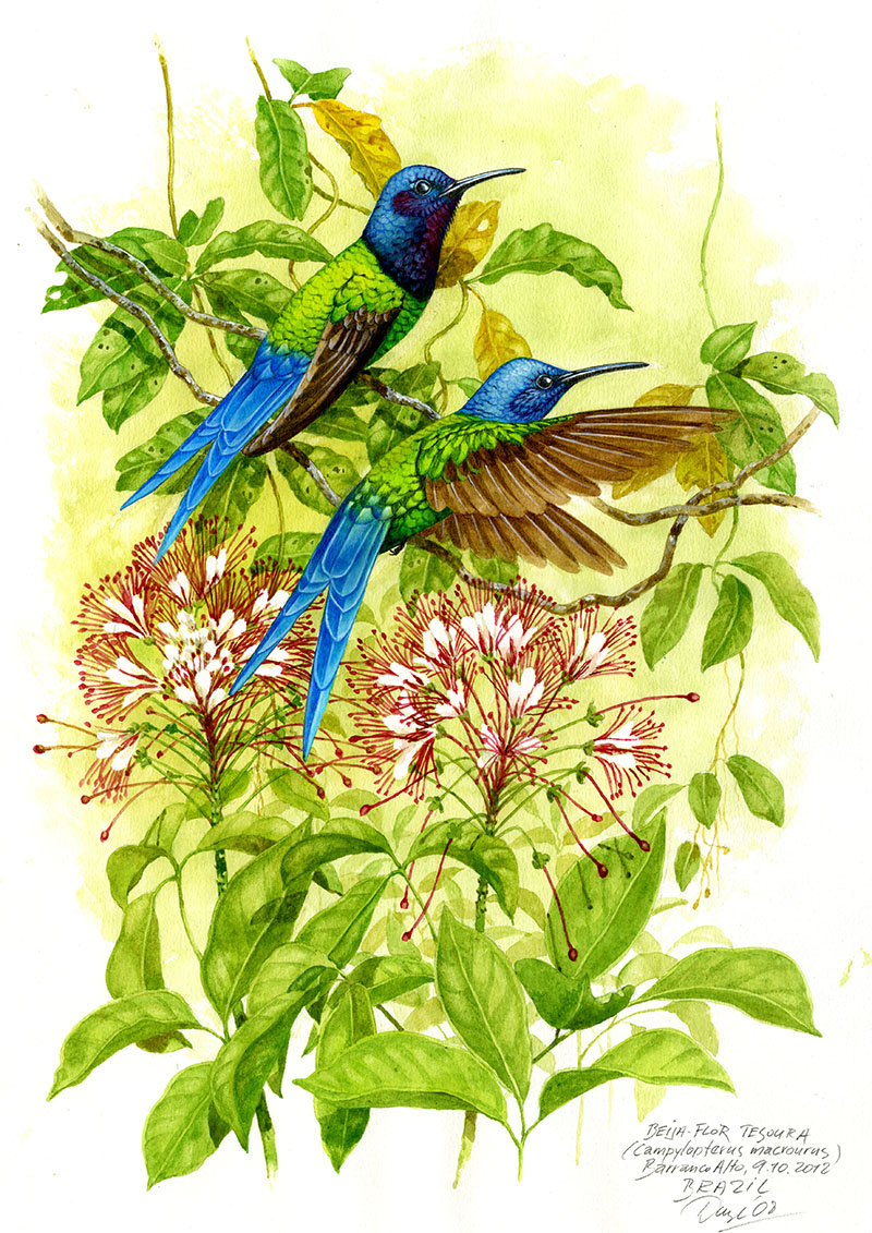 Swallow tailed hummingbird (Campylopterus macrourus), Pantanal, Brazil 2008 (sold).