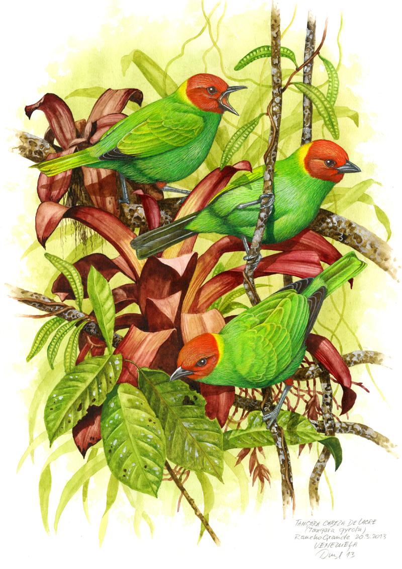 Bay-headed tanager (Tangara gyrola), Rancho Grande, Venezuela 2006.