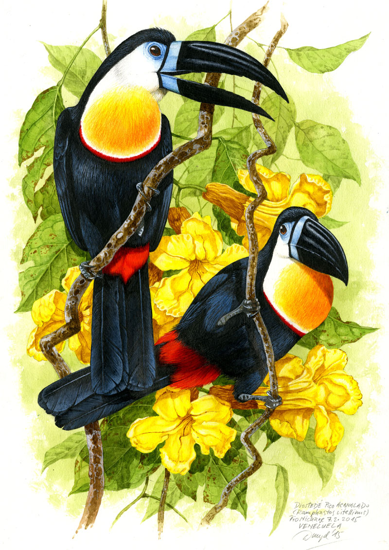 Channel-billed toucan (Ramphastos vitellinus), Rio Nichare (Amazonia), Venezuela 2015 (sold).