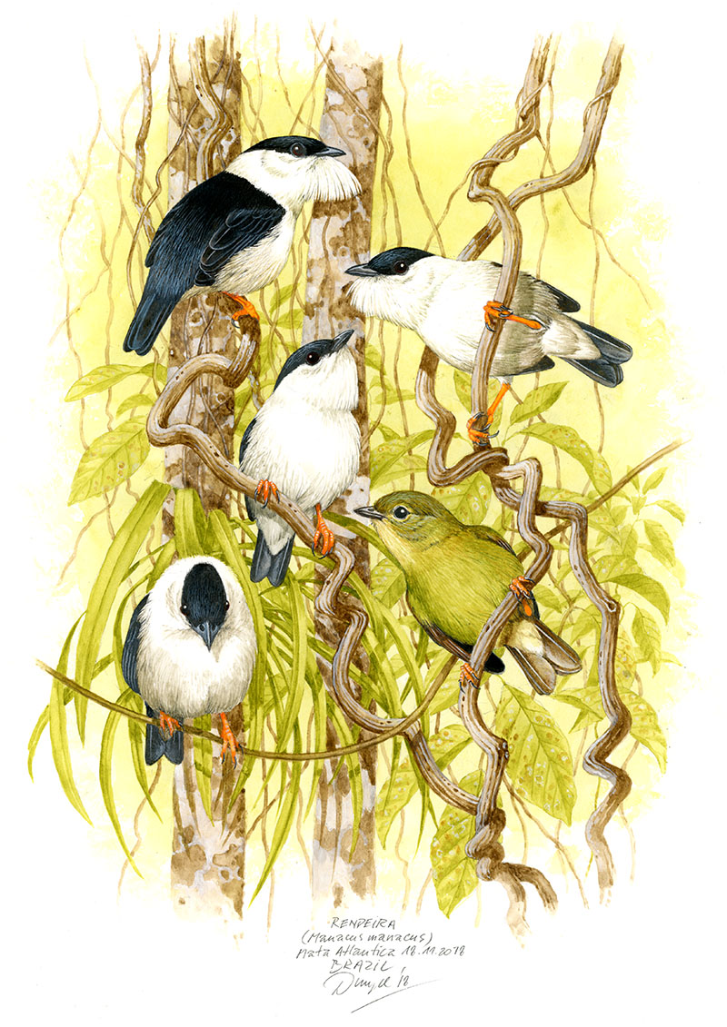 White-bearded manakin (Manacus manacus), Mata Atlantica, Brazil 2018 (sold).