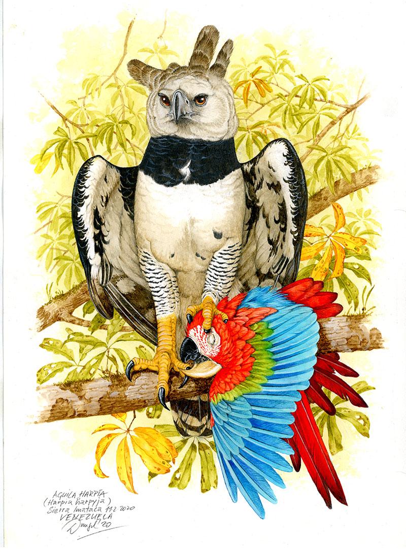 Harpy eagle (Harpia harpyja), Sierra Imataca (Amazonia), Venezuela 2020.