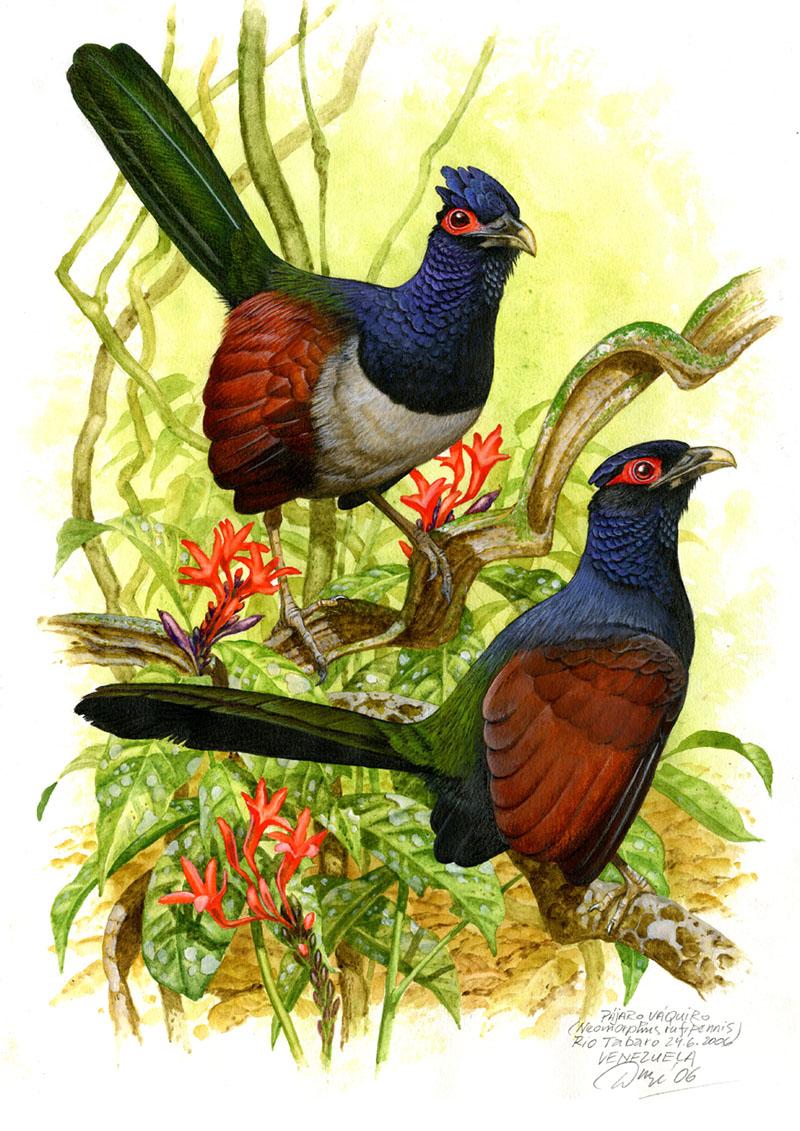 Rufous-winged ground-cuckoo (Neomorphus rufipennis), Rio Tabaro (Amazonie), Venezuela 2006.