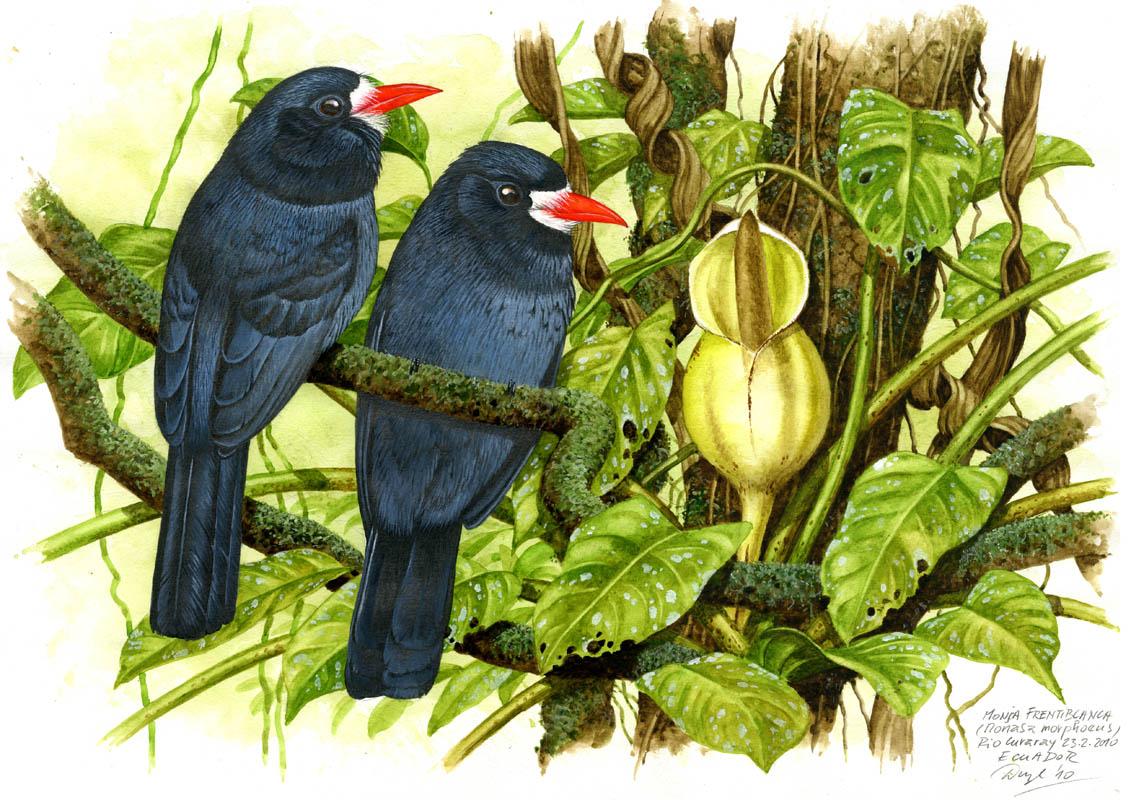 Lenivka škrabošková (Monasa morphoeus), Rio Curaray (Amazonie), Ecuador 2010.