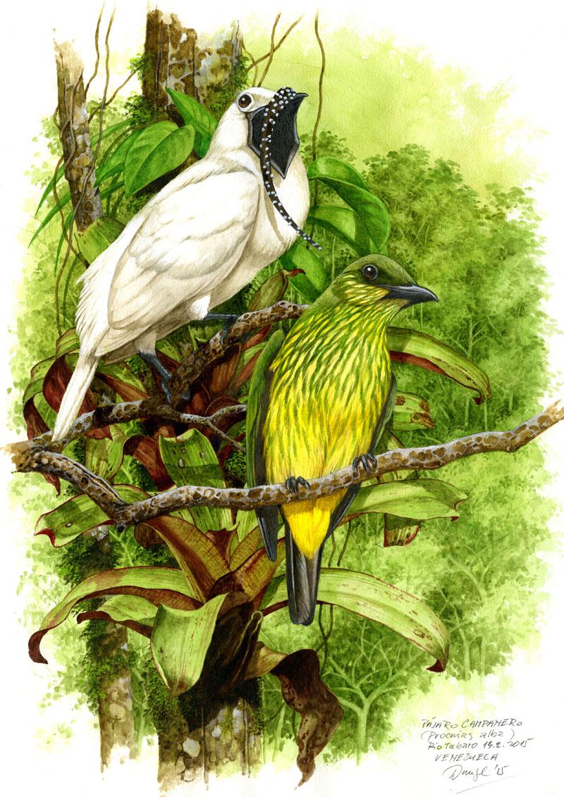 White bellbird (Procnias albus), Rio Tabaro (Amazonia), Venezuela 2015.