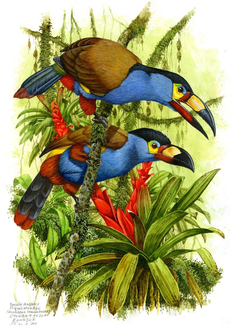 Tukan modrý (Andigena laminirostris), Západní Andy, Ekvádor 2011 (prodáno).