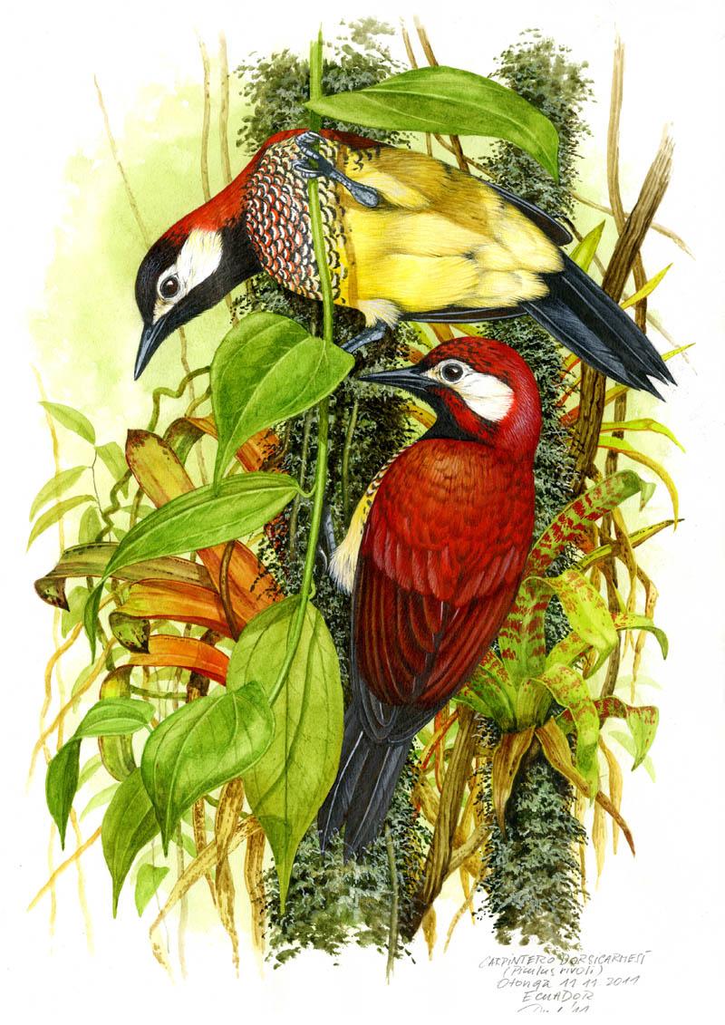 Crimson-mantled woodpecker (Piculus rivolii), West Andes, Ecuador 2011 (sold).