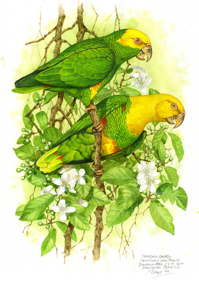 Amazoňan žlutobřichý (Amazona xanthopus), Pantanal, Brazílie 2014 (prodáno).