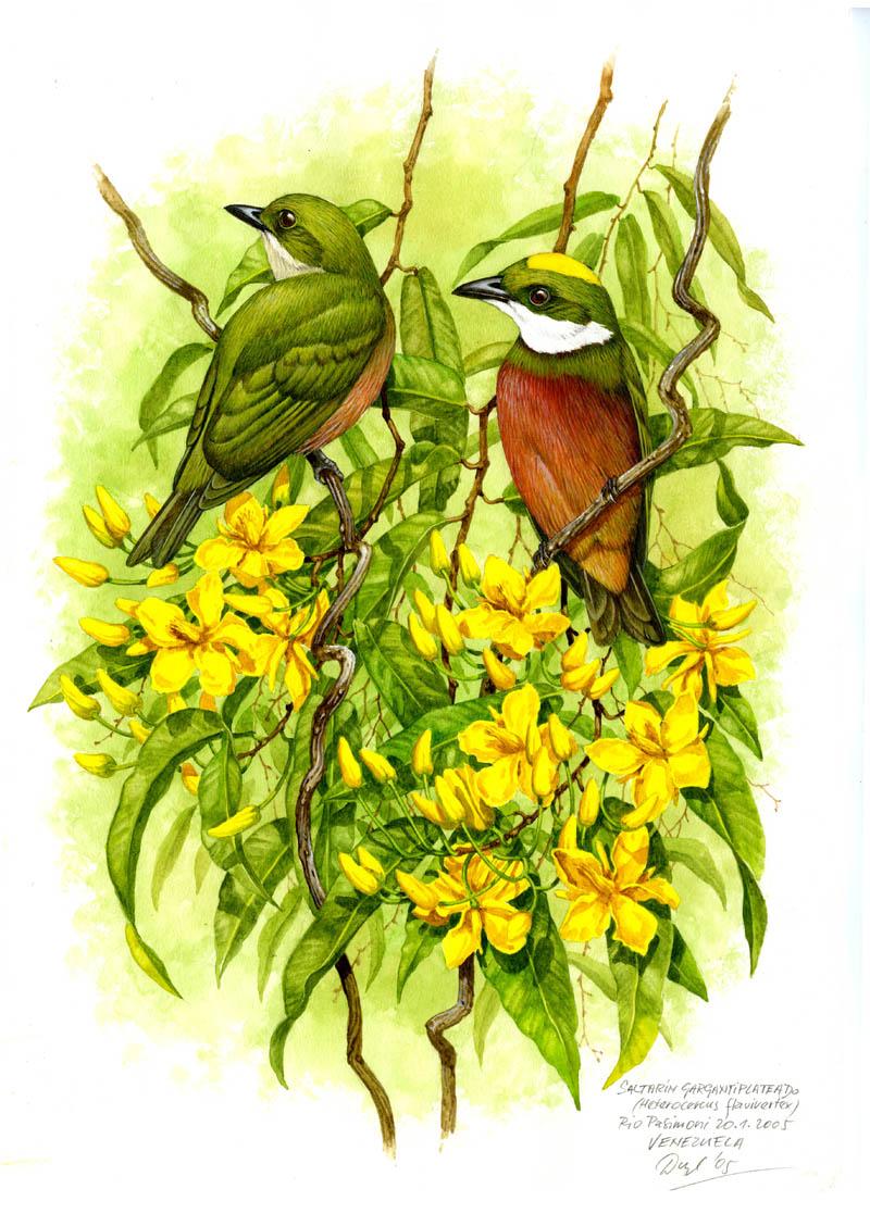 Pipulka žlutotemenná (Heterocercus flavivertex), Rio Pasimoni (Amazonie), Venezuela 2005.