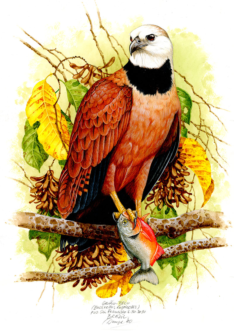 Black-collared hawk (Buteo nigricollis), Pantanal, Brazílie 2010.