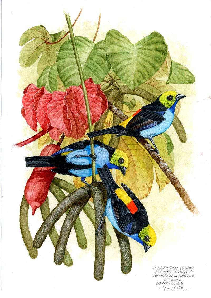 Tangara sedmibarvá (Tangara chilensis), Macizo de la Neblina (Amazonie), Venezuela 2007.