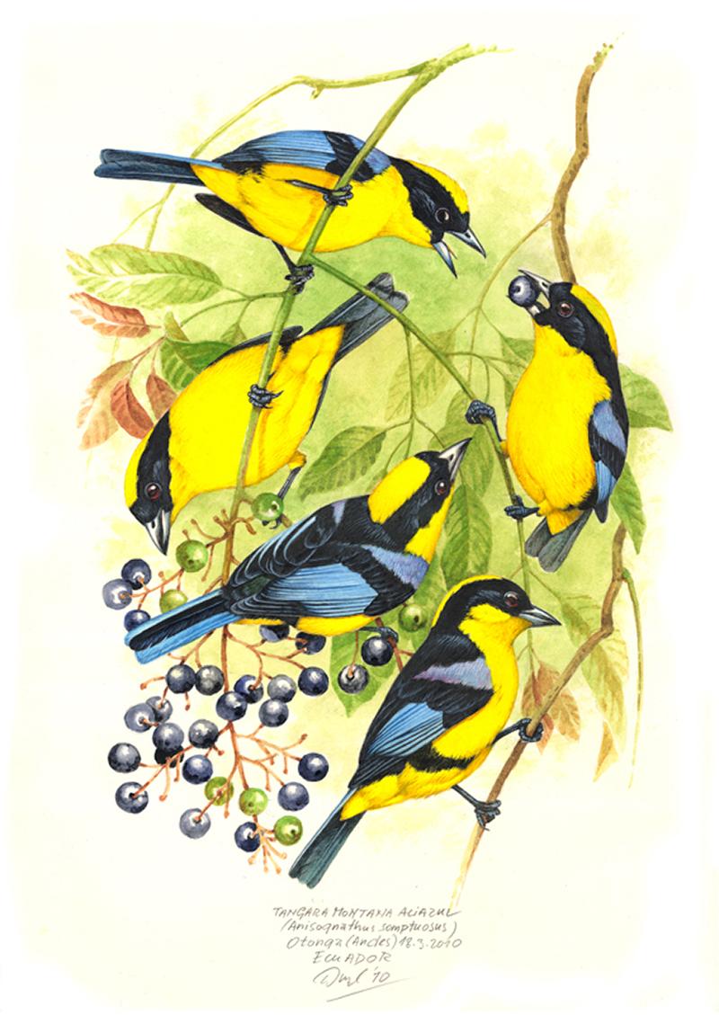 Tangara jižní (Anisognathus somptuosus), Západní Andy, Ekvádor 2010.