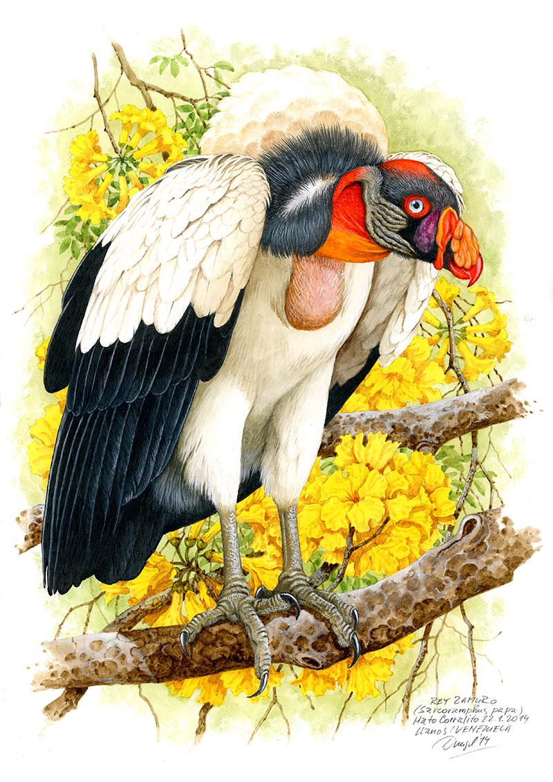 King vulture (Sarcoramphus papa), Llanos, Venezuela 2014.