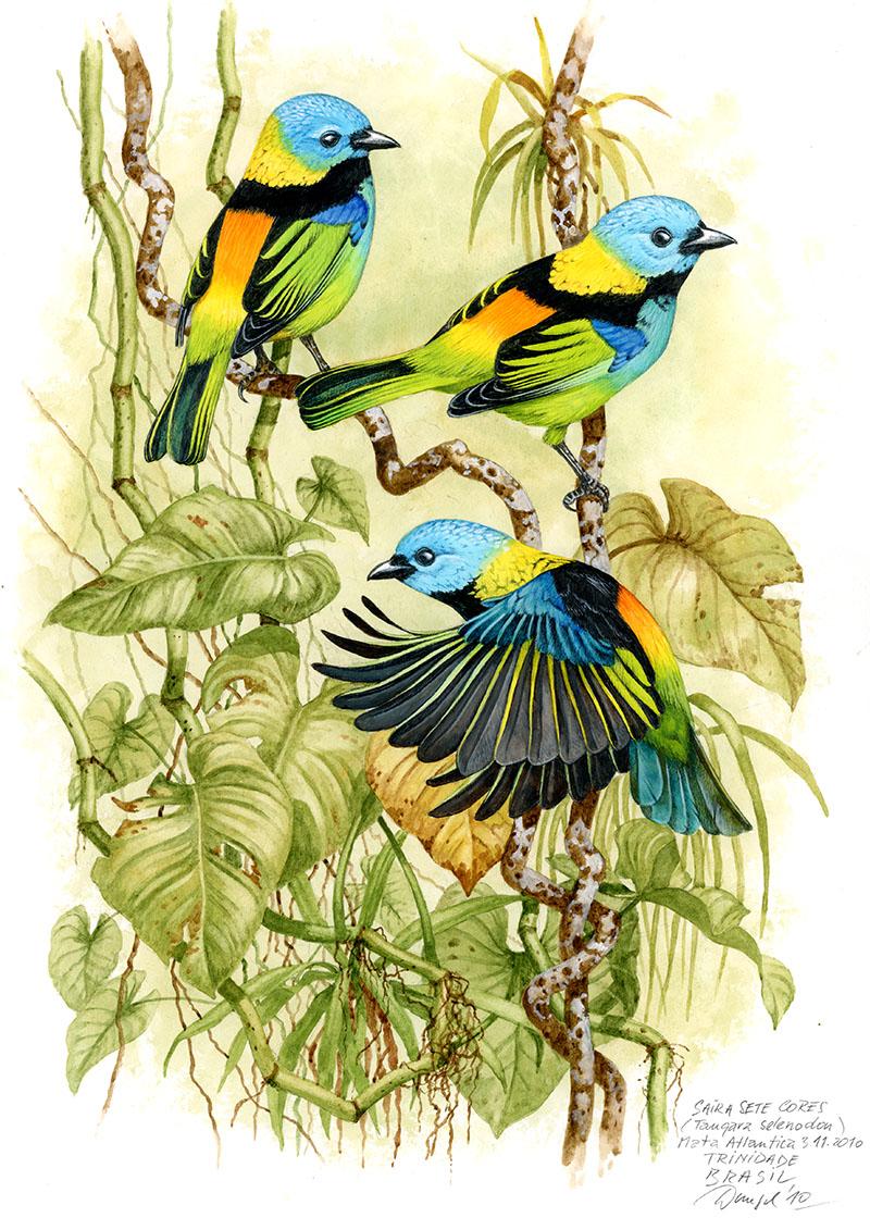Tangara tříbarvá (Tangara seledon), Mata Atlantica, Brazílie 2010 (prodáno).