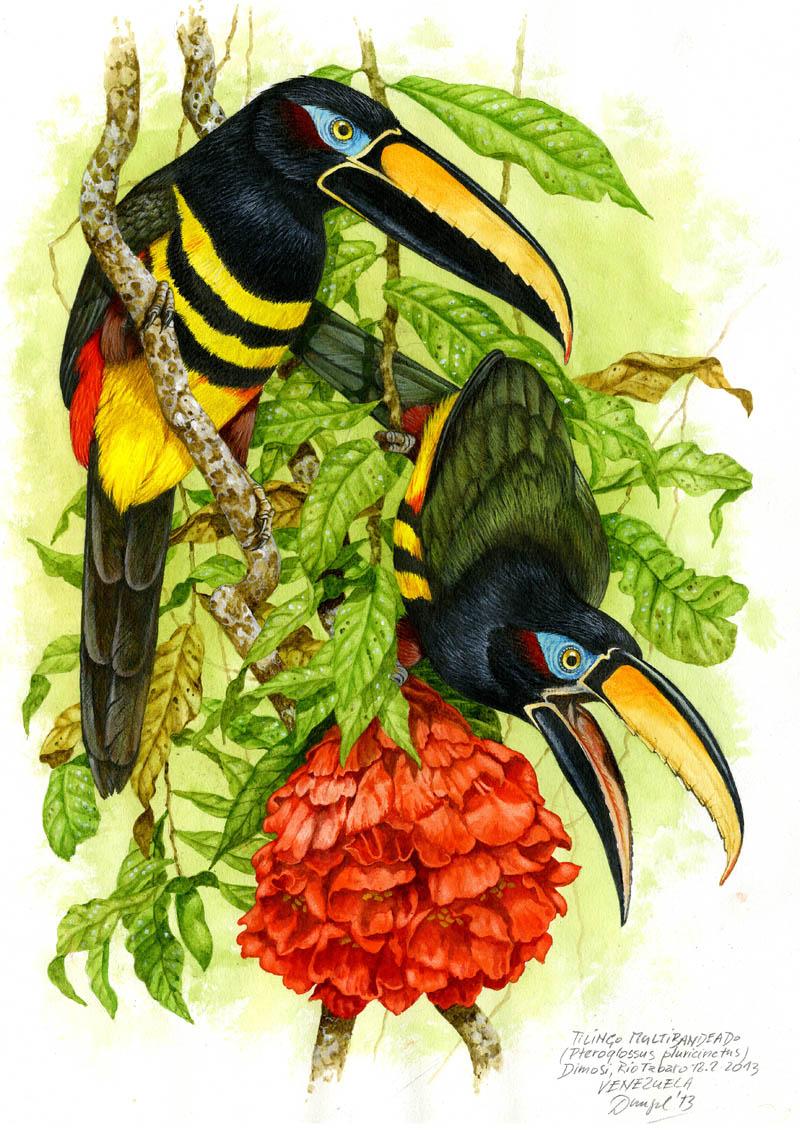 Arassari mnohopruhý (Pteroglossus pluricinctus), Rio Tabaro (Amazonie), Venezuela 2013 (prodáno).